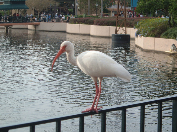 A picture of an Ibis in front of the Boardwalk.